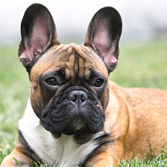 dog breed, animal, dog, british bulldogs, olde english bulldogge, mammal, french bulldog, bulldog,