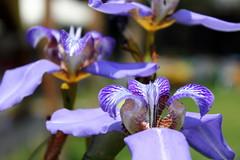 iris, flower, iris versicolor, purple, plant, macro photography, wildflower, flora, close-up, petal,