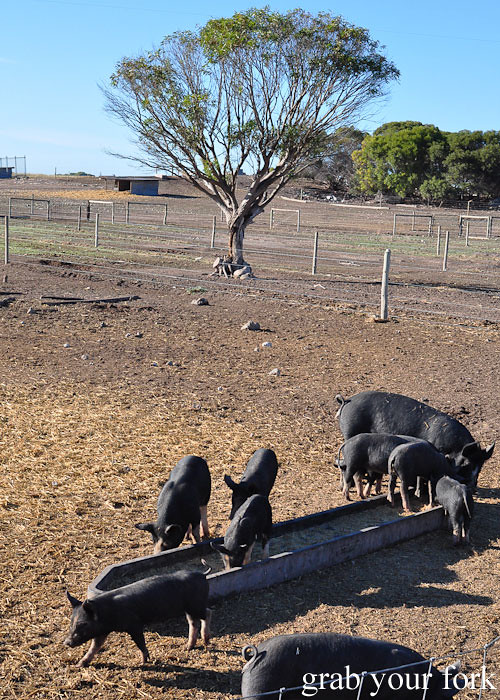 Free range pigs at Minniribbie Berkshire Pig Farm, Wangary