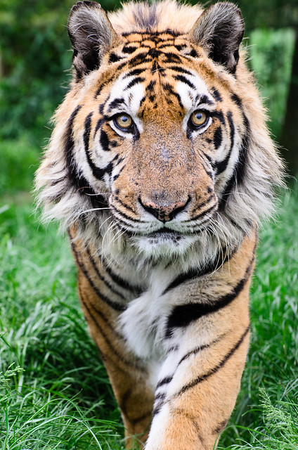 Tiger hybrid - photo#5