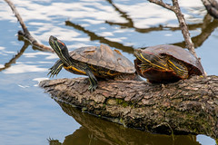 Turtles at stockers lake