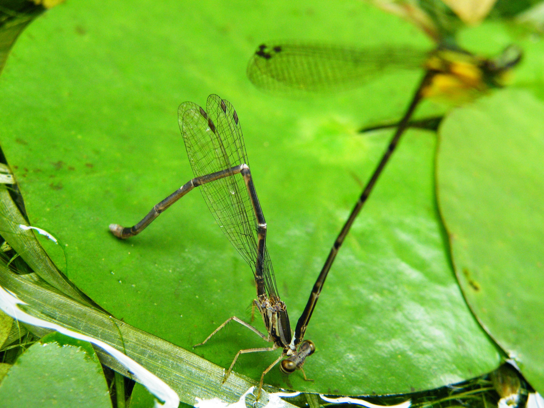 有的種類的豆娘,雄蟲會護衛雌蟲產卵,以免別的競爭者來攪局。圖為產卵中的脛蹼琵蟌,荷葉上的細小孔洞為產卵留下之痕跡。