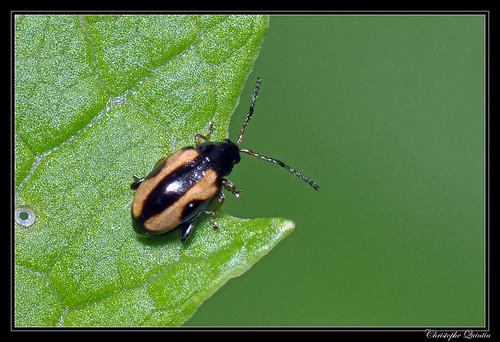 Phyllotreta ochripes