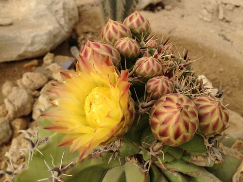 Flowering Devil's Tongue Barrel, Ferocactus latispinus