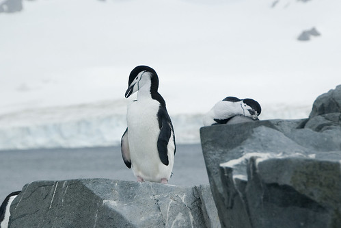 Chinstrap Penguins by Veerle L