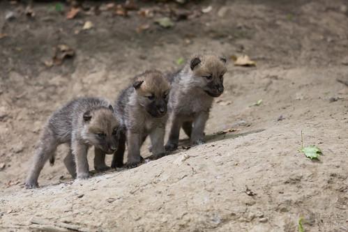 Arktischer Wolf Babies by CROW1973