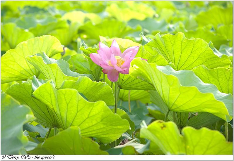 2012-06-24 三重疏洪荷花公園-7