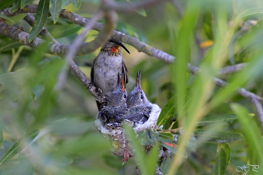 Hybrid Hummingbird nest 062912-3