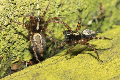 Spider 8983