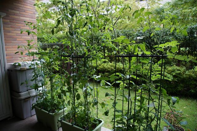 サントリー本気野菜トマトの成長