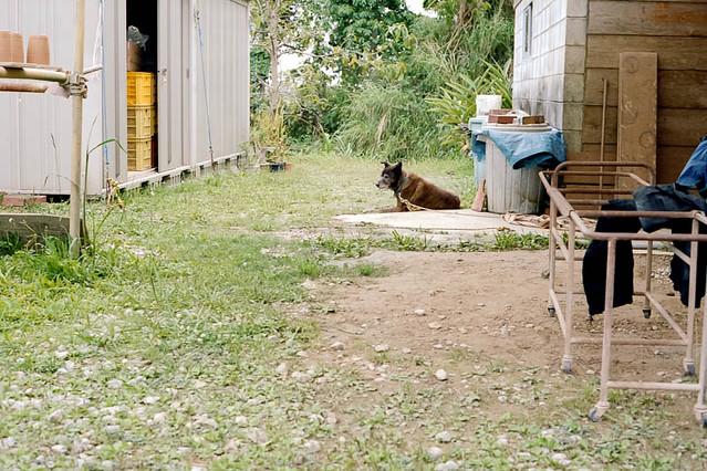 琉球犬 / Ryukyu dog
