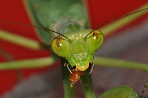 圖三:進食中的寬腹螳螂。(王嘉靖攝影)