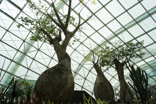 Different species of Baobab trees lined the conservatory