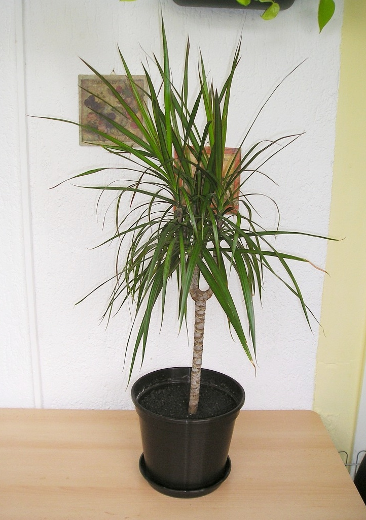 Drachenbaum (Dracaena marginata Bicolor)