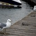 Common Gulls on the boardwalk