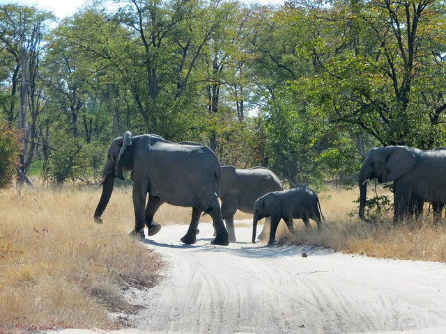 elephants in moremi bush in botswana