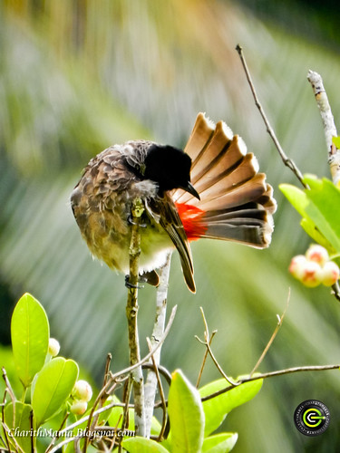 Red Vented Bulbul by CharithMania