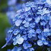 hydrangea by * Yumi *