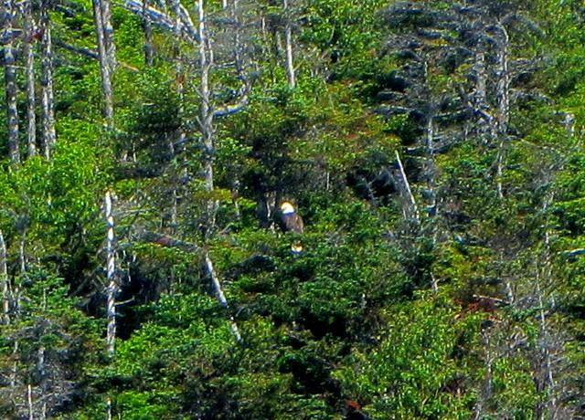 Bald Eagle on Bonne Bay
