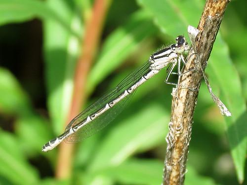 Common Blue Damselfly - Enallagma cyathigerum