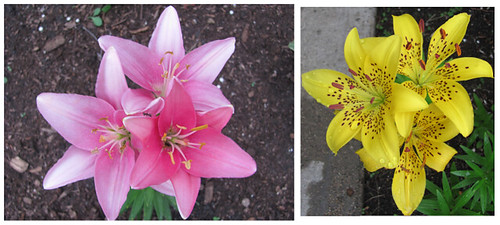 03 light pink lilies and yellow spotted lilies