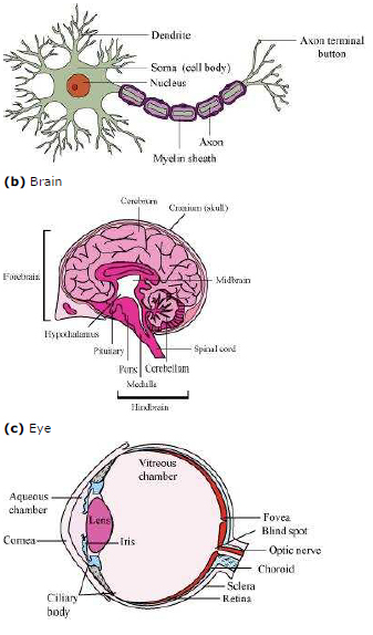 Ncert solutions class 11 biology chapter 21 neural control and ncert solutions class 11 biology chapter 21 neural control and coordination aglasem schools ccuart Choice Image