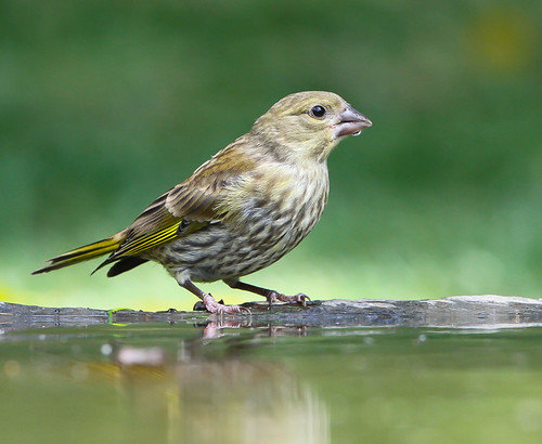 Verdilhão / Greenfinch