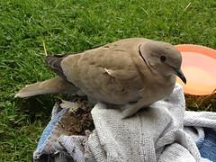 animal, perching bird, wing, fauna, beak, stock dove, bird,