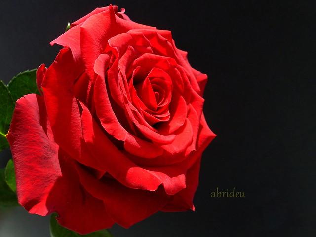 Red Rose, Panasonic DMC-TZ20