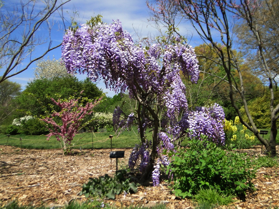6-77-21apr12_3707_Botanical_garden japanese wisteria