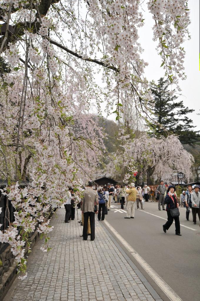 Shidare Sakura Kakunodate Bukeyashi (角館武家屋敷)2012年桜
