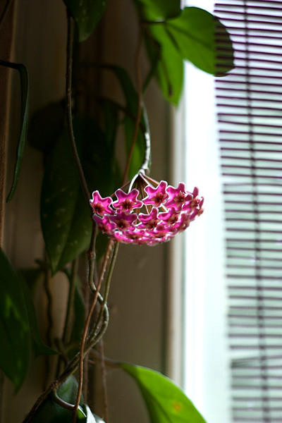 Hoya publikaris silver pink