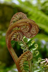 Fern / Paku Pakis