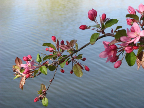 Blossoms And The Water