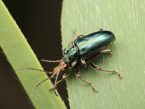 Plateumaris sericea キヌツヤミズクサハムシ(スゲハムシ)