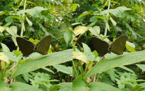 Jamides bochus, stereo parallel view