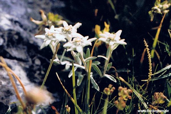 Pflanze mit Symbolkraft: das Edelweiß (Leontopodium nivale)