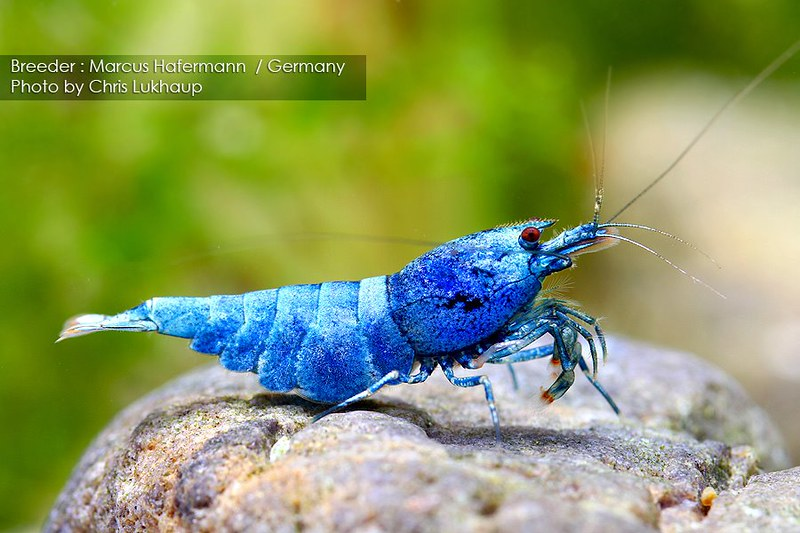 blue white tibee blue bolt mosura red eye blue bolt