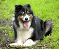 lapponian herder(0.0), german spitz klein(0.0), german spitz(0.0), miniature australian shepherd(0.0), german spitz mittel(0.0), australian shepherd(0.0), collie(0.0), shetland sheepdog(0.0), icelandic sheepdog(0.0), border collie(1.0), dog breed(1.0), animal(1.0), dog(1.0), finnish lapphund(1.0), rough collie(1.0), english shepherd(1.0), carnivoran(1.0),