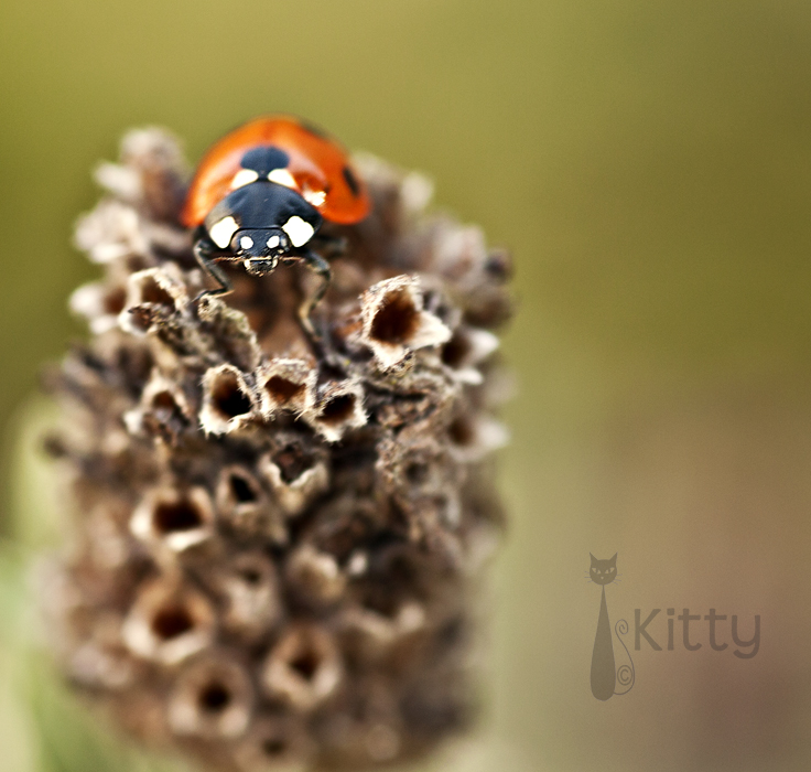 Ladybird and Lavender