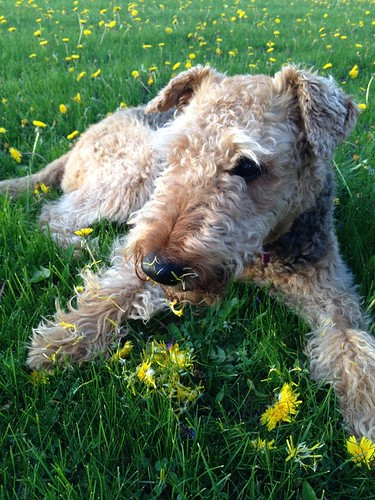 My daughter's airedale pretending to be a lawn service!