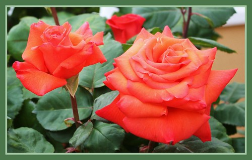 The beauty of the roses.!!