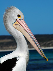 Pelican by the Seaside