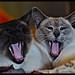 Synchronised Yawning by Fenwick1925