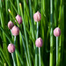 Chive buds