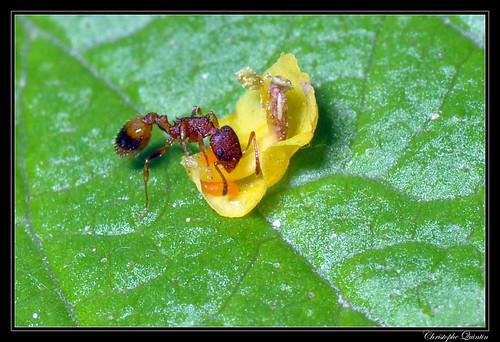 Temnothorax unfiasciatus