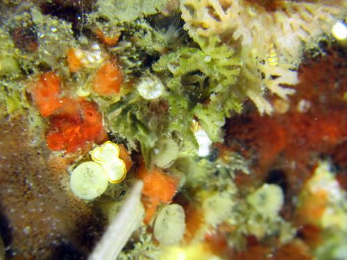 チビツユダマ属の一種とミツイラメリウミウシ