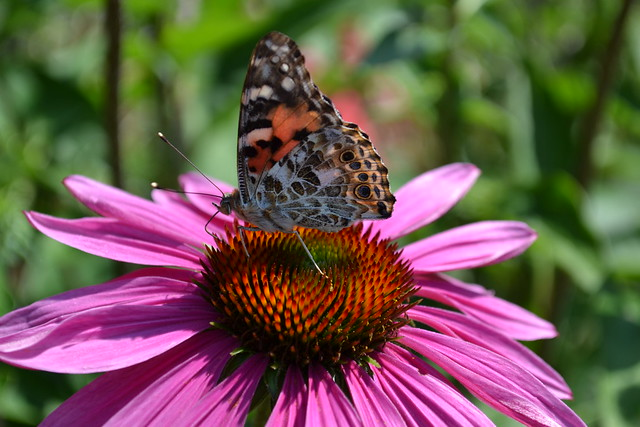Butterfly landing on  Echinacea purpurea  'Pica Bella' in the Cranford Rose Garden. Photo by Jean-Marc Grambert.