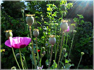 Poppies in the Morning Light