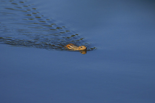 Swimming chipmunk..